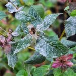 Does Vinegar Kill Powdery Mildew?