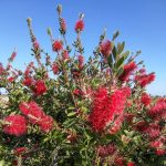 How to Grow and Care for Bottle Brush Tree (Callistemon)