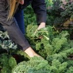 How to Harvest Kale So It Keeps Growing