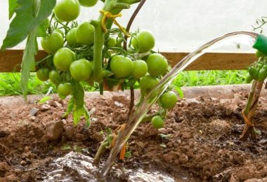How Often Should You Water Tomatoes in A Raised Bed?