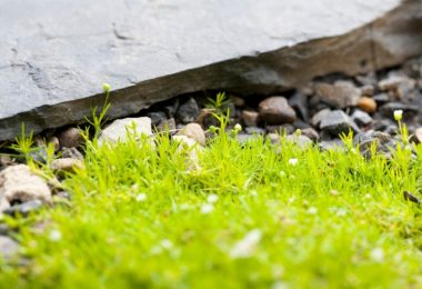 Irish Moss Ground Cover – Growth And Caring Tips