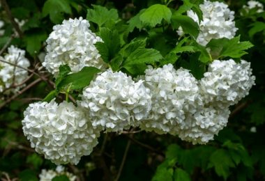 4 Different Types Of Snowball Bushes