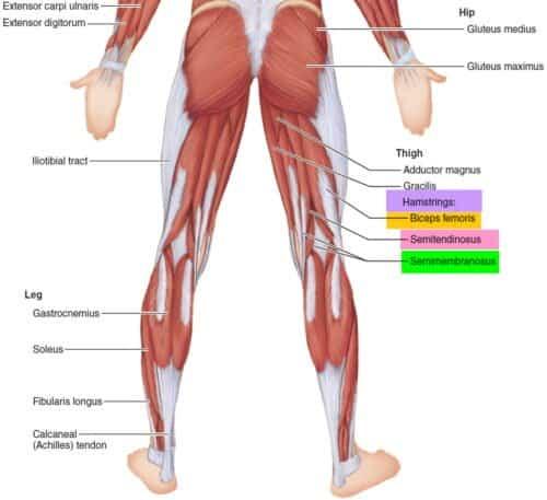 stiff leg deadlift anatomy of hamstring muscles