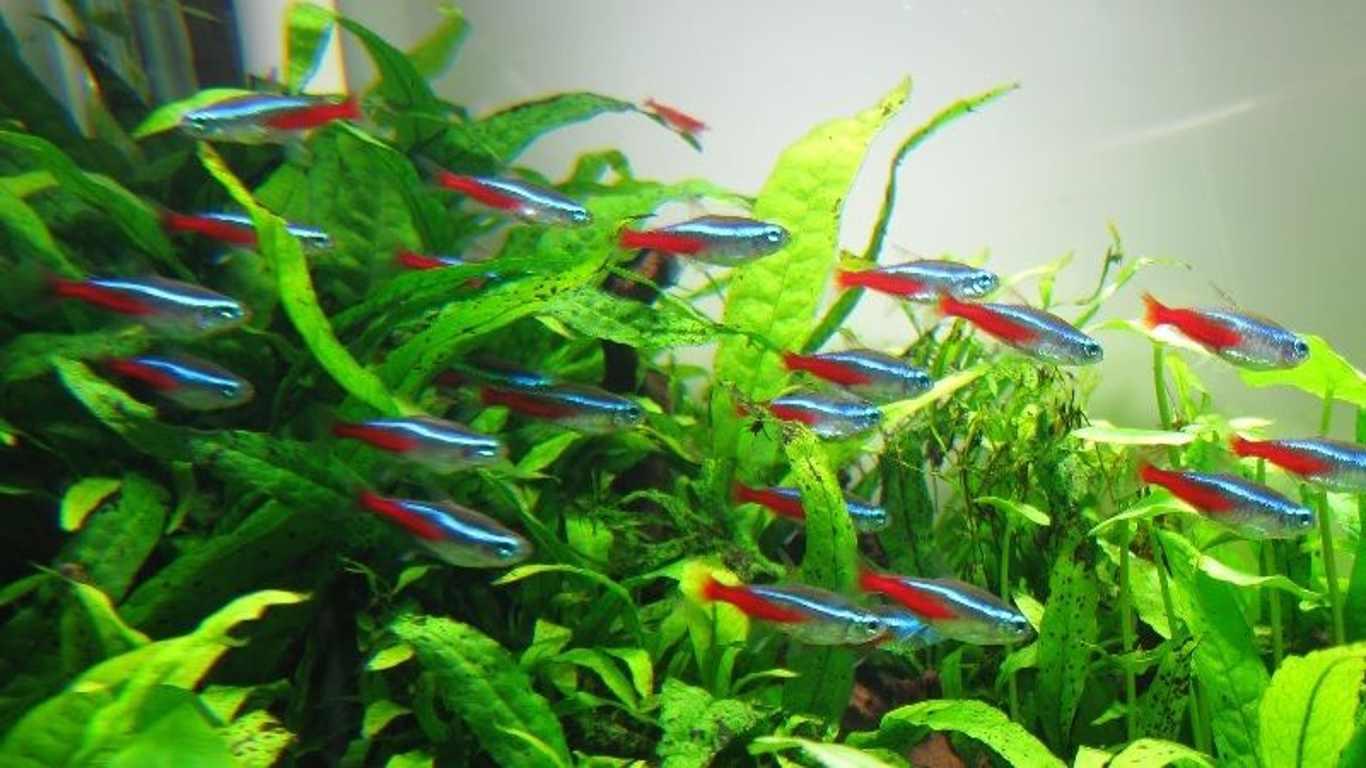 Ikan Neon