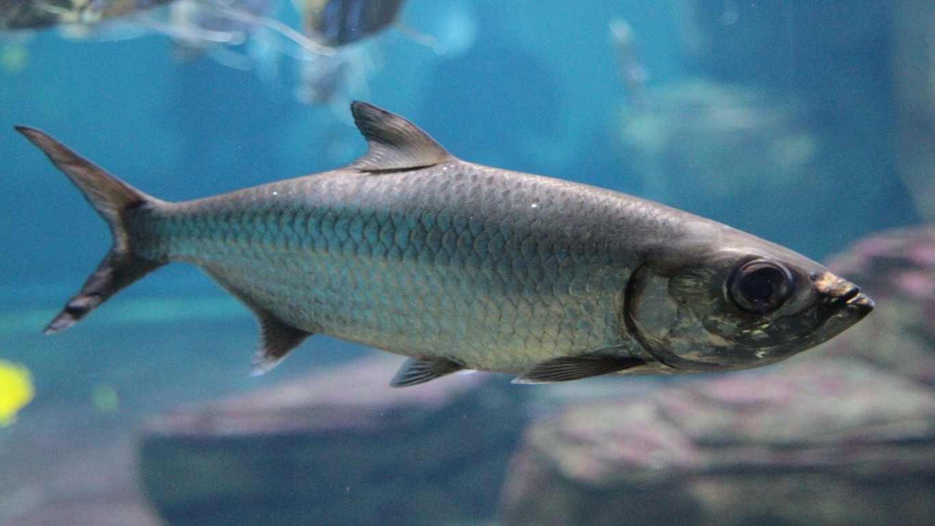 Ikan Air Payau
