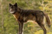 Wie eine unerwartete Freundschaft mit einem Wolf die ganze Stadt verändert
