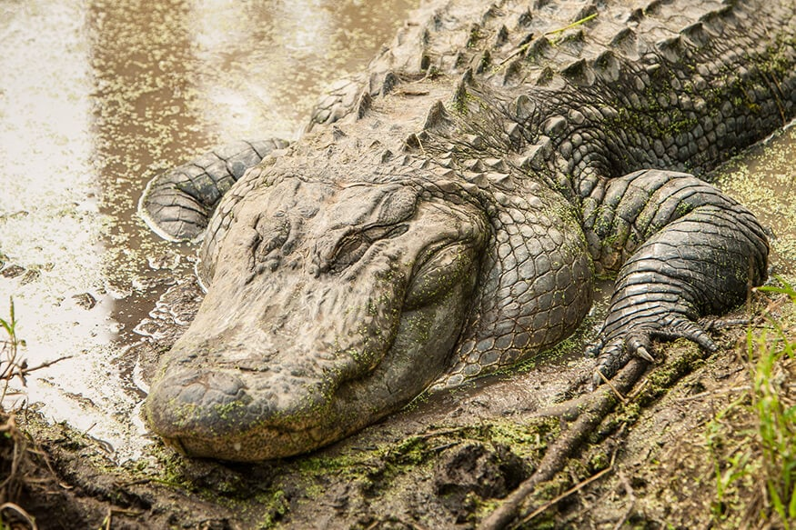 Application period open for upcoming gator hunt