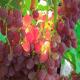 Агротехника выращивания винограда кишмиш: посадка и уход