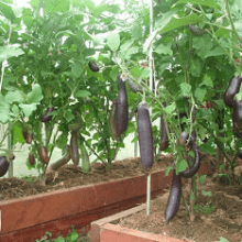 Как вырастить баклажаны в теплице?