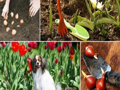 Когда и как посадить тюльпаны, чтобы они цвели?