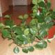 Особенности выращивания пеперомии в домашних условиях
