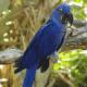 Попугай гиацинтовый ара: описание, особенности