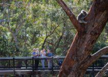 Visit the New Port Stephens Koala Sanctuary