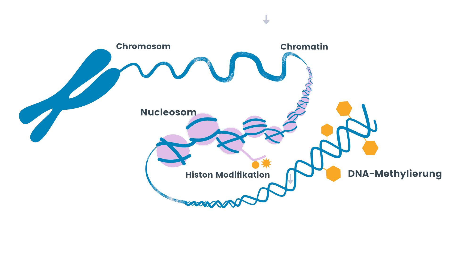 DNA Metylierung NUGENIS sorgt für ausreichende DNA Methylierung durch Ademetionin-Subsitution