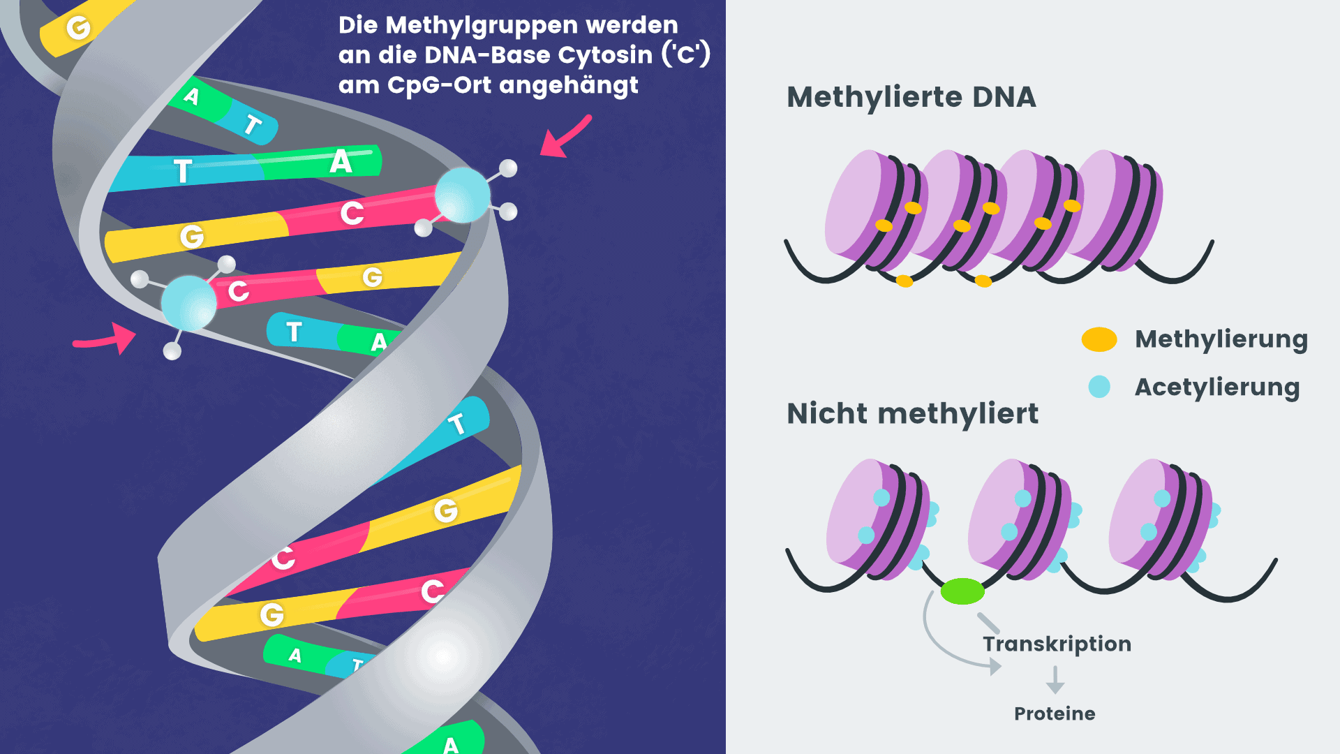 DNA Transmethylation NUGENIS products support the DNA Methylation with substitution with ademetionine