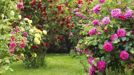 Саженцы роз по 380 рублей