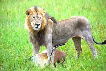 獲物を仕留めた直後のライオンの画像