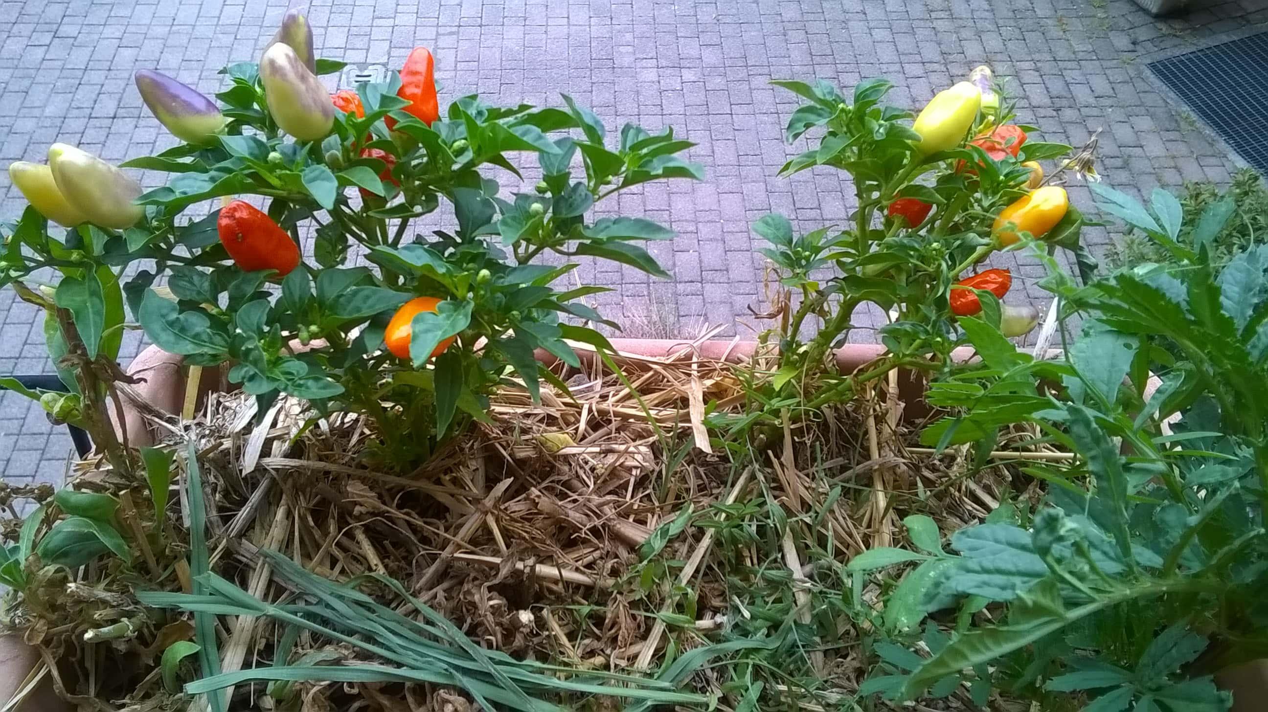 Peperoncini bio coltivati sul balcone