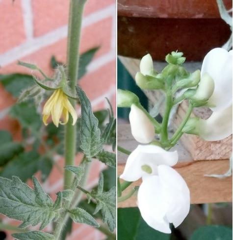 fiori di pomodoro bio e fagiolo bio