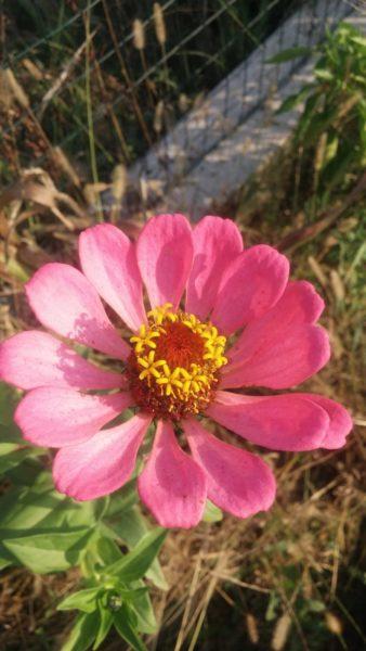Fiore Zinnia