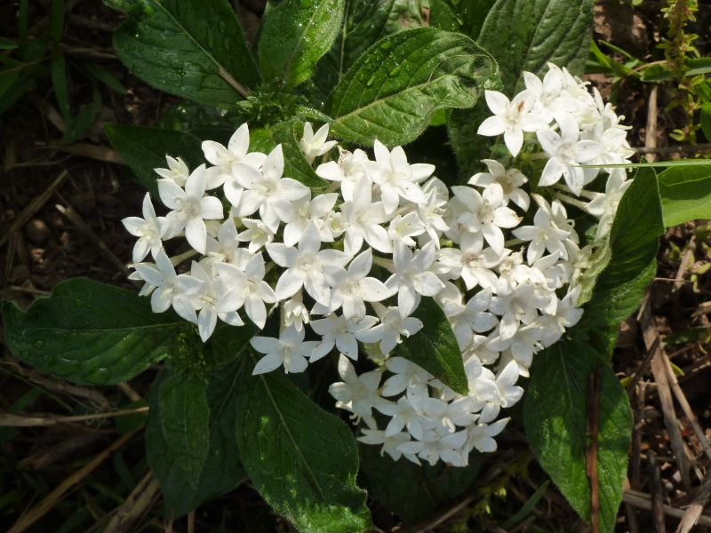 Fiori bianchi Solanacea