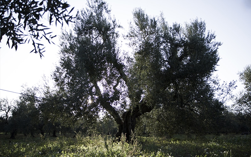 A centuries old olive trees in Apulia