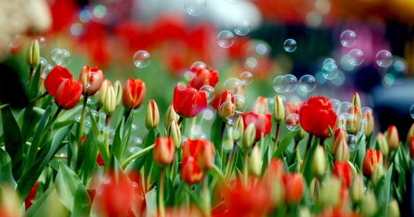 tulips-09