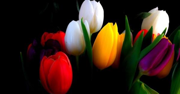 tulips-13