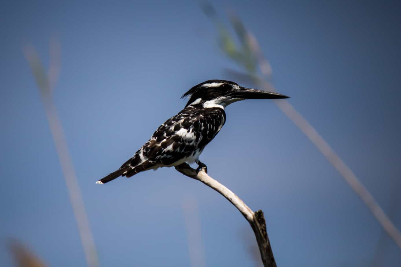 Pied Kingfisher @ Kosi Bay, South Africa. Photo: Håvard Rosenlund