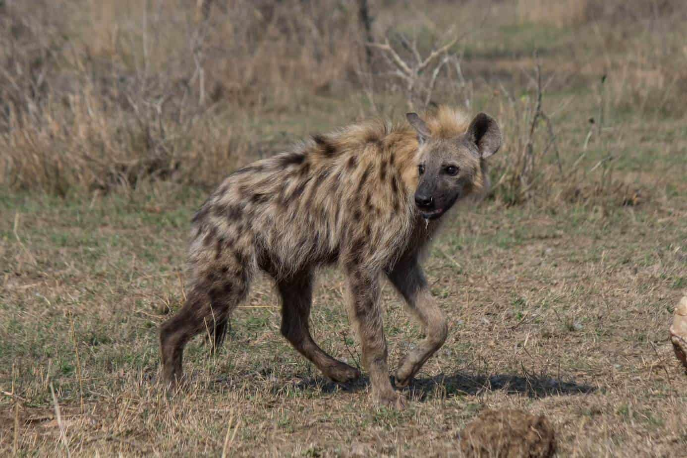 Spotted Hyena @ Hluhluwe-iMfolozi Park. Photo: Håvard Rosenlund
