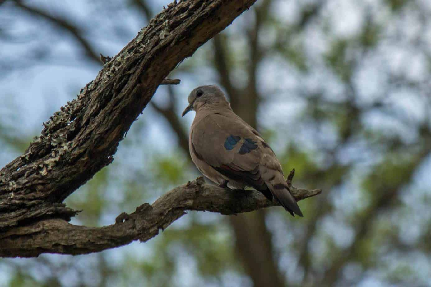 Emerald-spotted Wood-dove @ Ndumo Game Reserve. Photo: Håvard Rosenlund