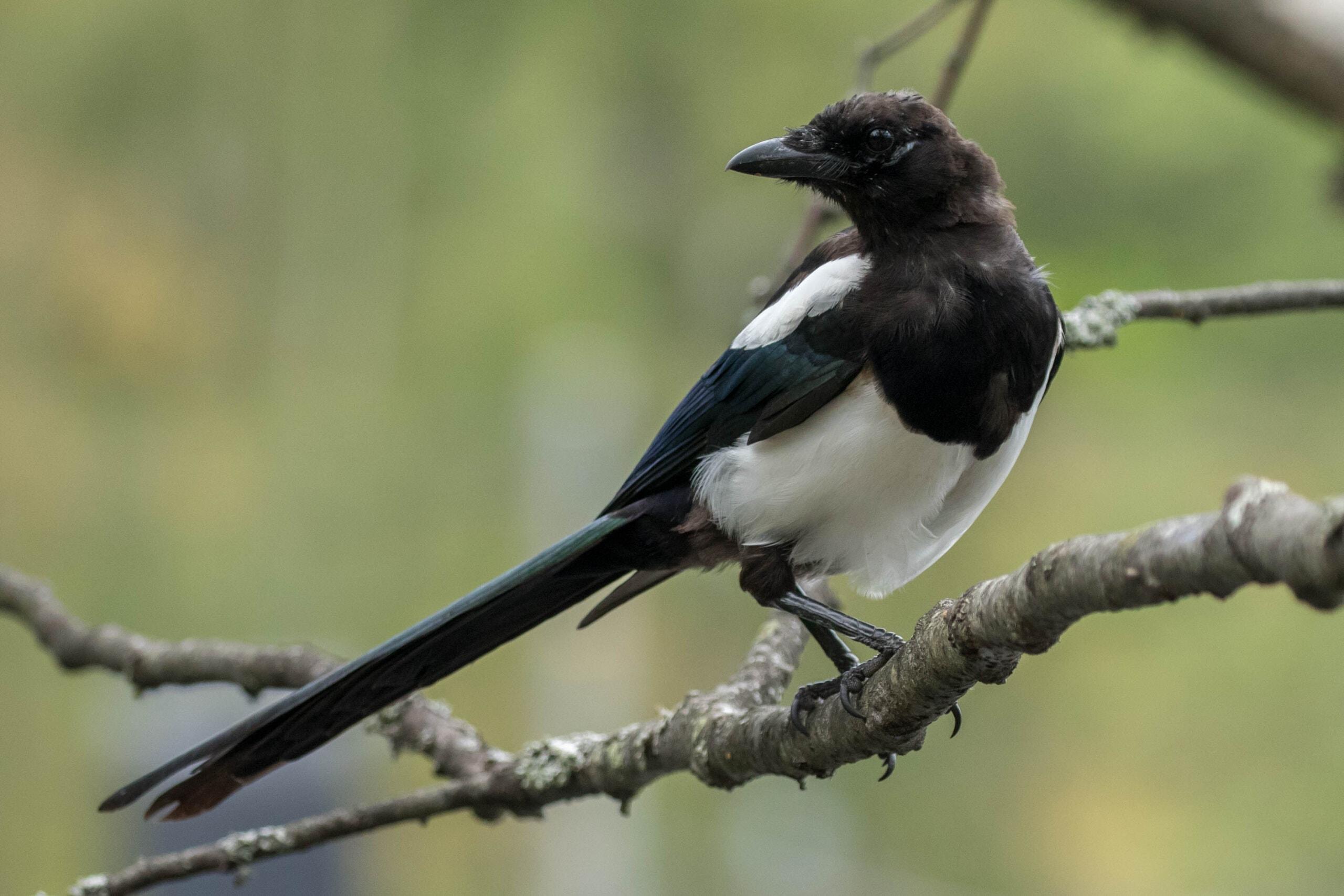 Eurasian Magpie @ Nittedal, Norway. Photo: Håvard Rosenlund