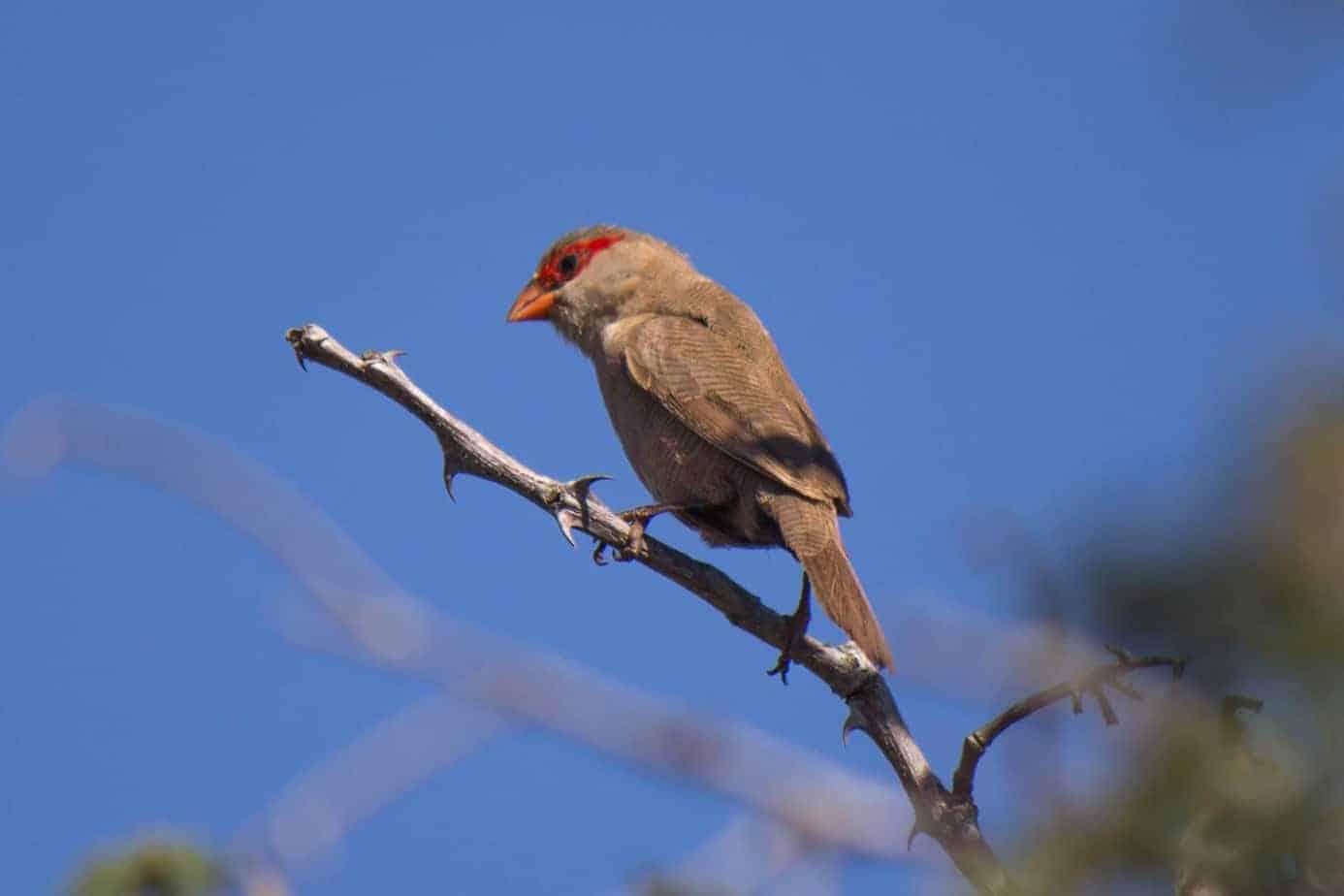 Vatreastrild @ Thanda Private Game Reserve. Foto: Håvard Rosenlund