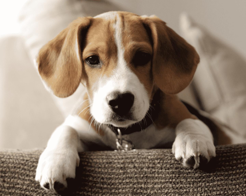 beaglier hondenras
