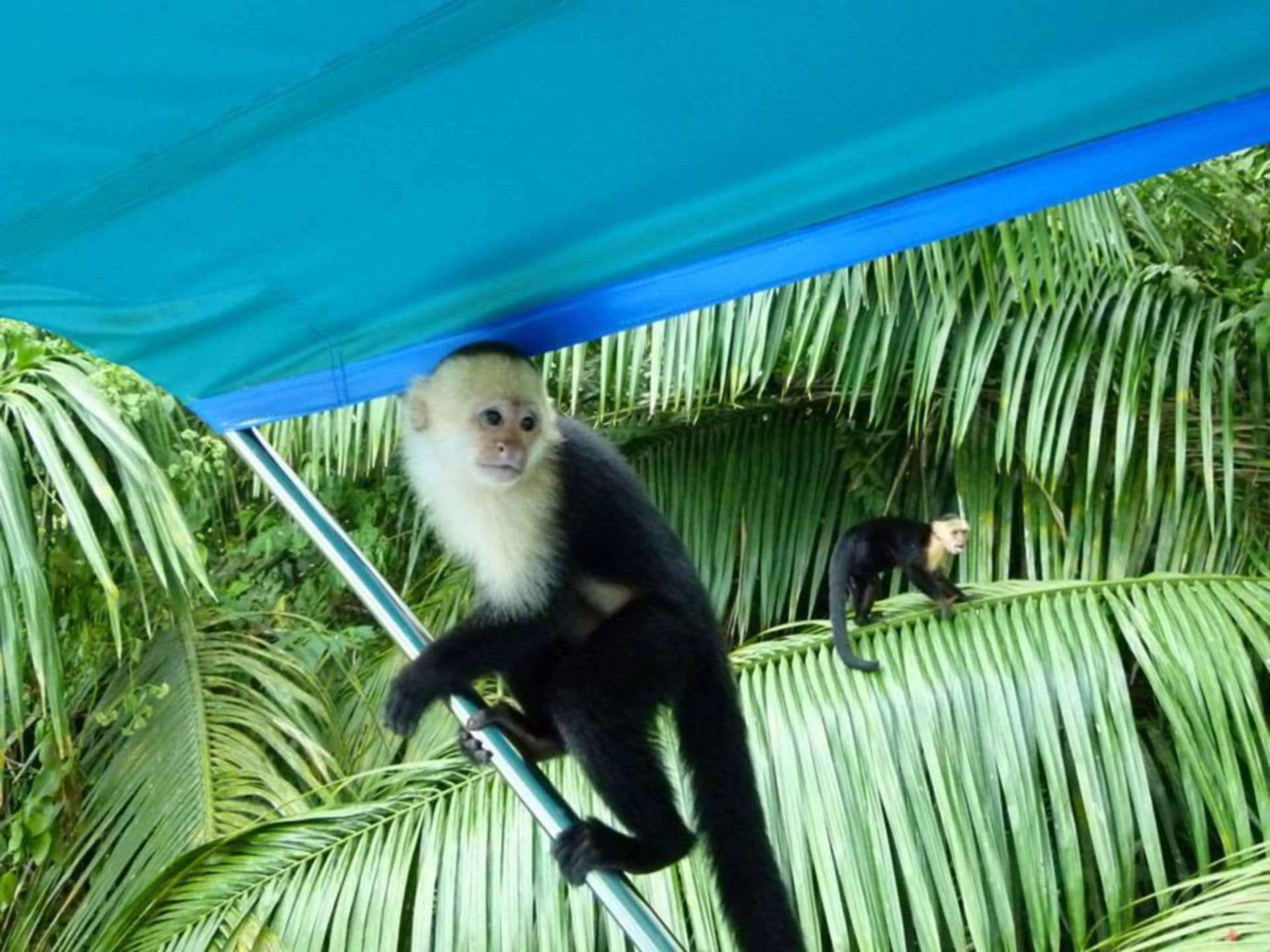 kokomana-kokopelli-logo-restaurant-sierpe-ballena-tales-osa-enjoy-tours-puravida-nature-iguana-nature-monkey-nature