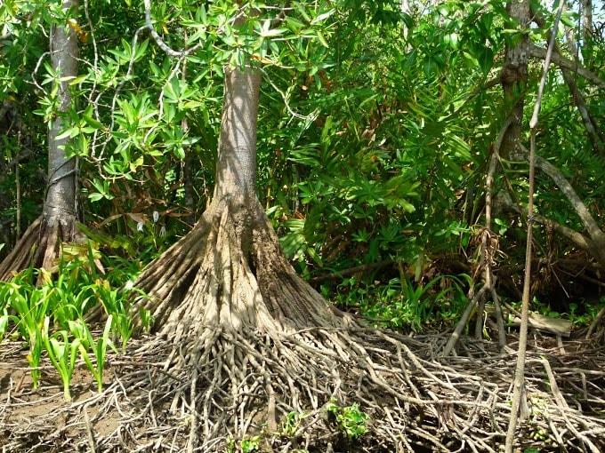 kokopelli-sierpe-kokopelli-sierpe-restaurant-tours-mangrove-corcovado-nature-sierpe-tour-24