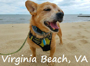 dog walking on the beach in Virginia Beach, Virginia