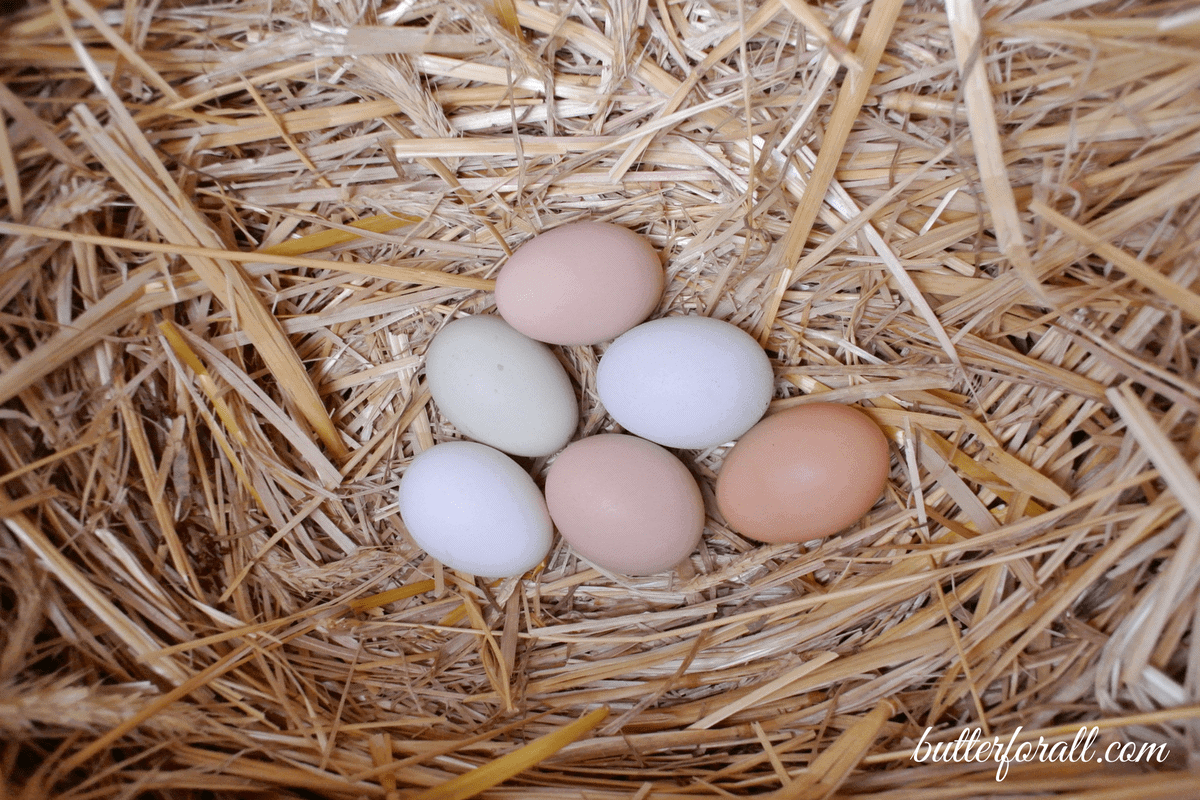 Raising Backyard Chickens For Eggs- From Chicks To Happy Egg Layers
