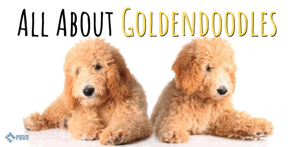 All About Goldendoodles