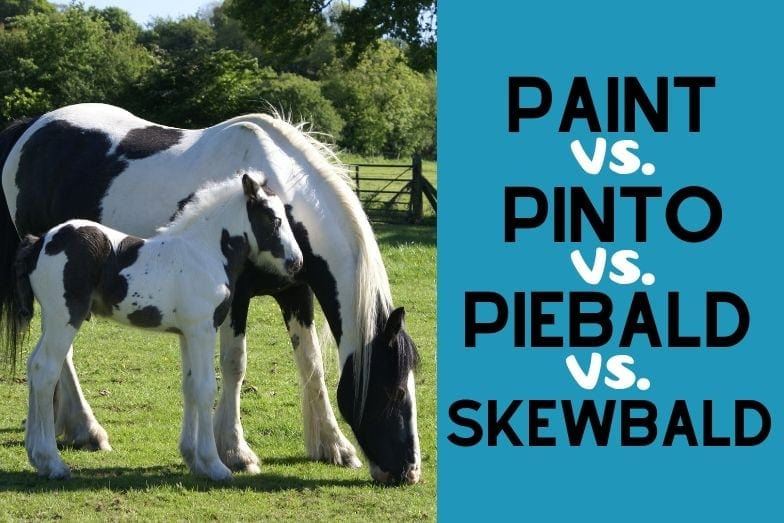 Paint Horse v. Pinto v. Skewbald v. Piebald: Which is Which