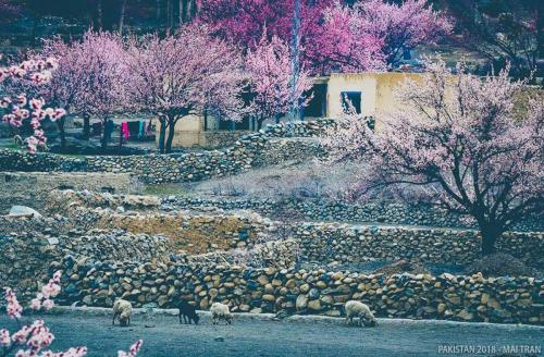 Hunza-Blossom-Tour-Vietnamese-Group-with-HunzaExplorers-1010