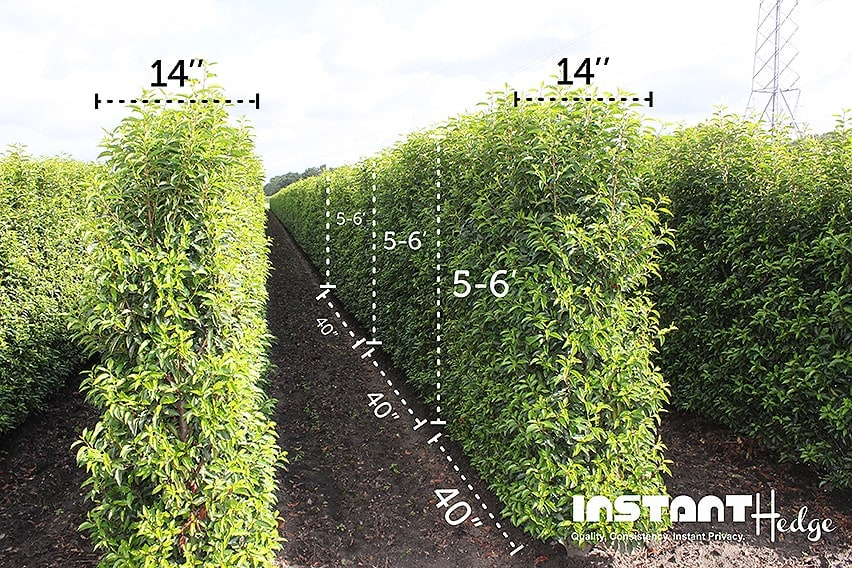 5-6-foot-InstantHedge-dimensions-field