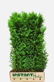 Taxus X Media Hicksii Hedge