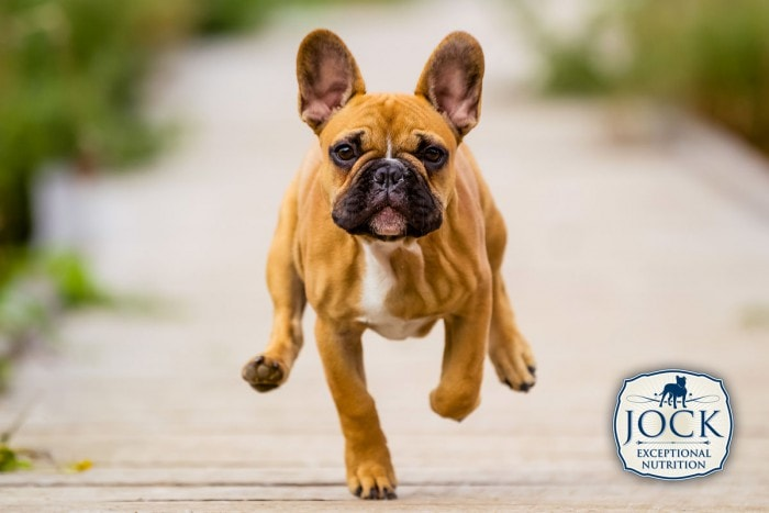 Know-your-breed-french-bulldog-Feb-secondary-image