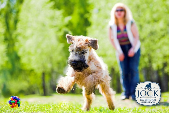 Know-your-breed-Irish-Terrier-March-secondary-image