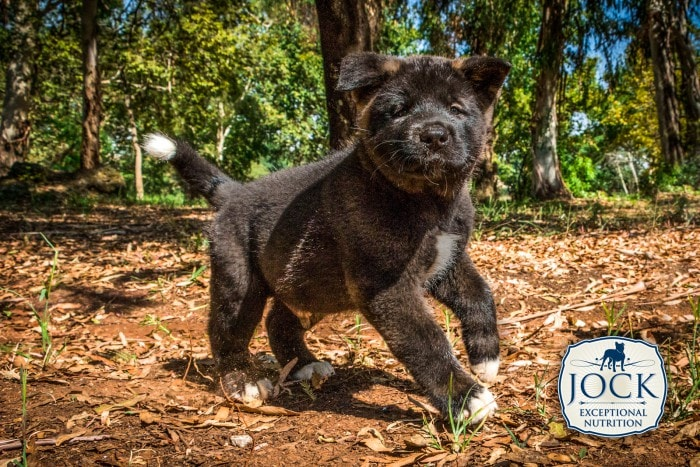 Know-your-breed-Akita-secondary-image