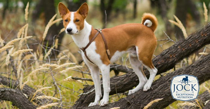 2017_07_Know-your-breed_Bansji_-secondary_image