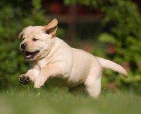 A Yellow labrador puppy running