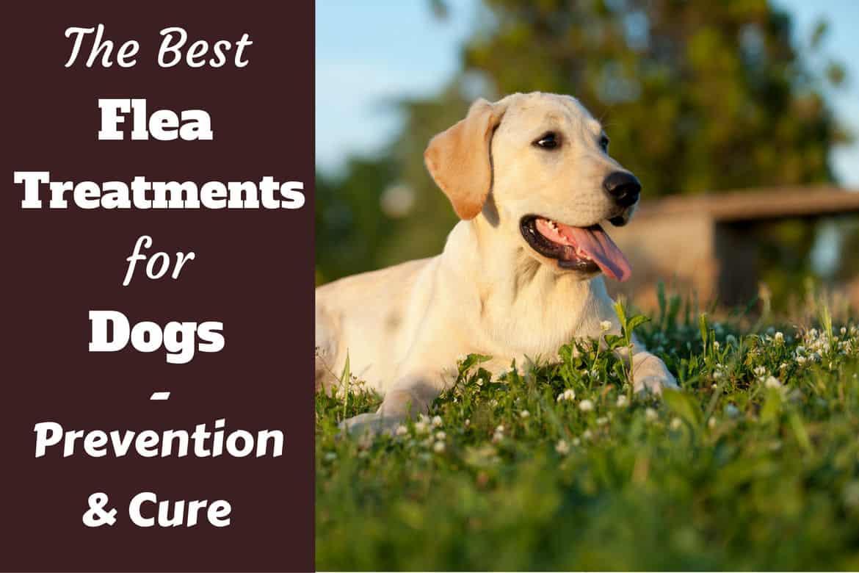 Best flea treatment for dogs written beside a lying lab in a field