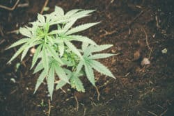 Cannabisanbau/Versorgungslage – FDP fragt nach